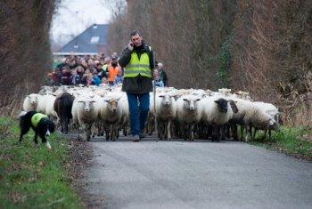 Nieuwjaarswandeling schaapskudde Middelburg