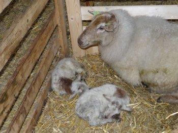 Eerste lammetjes 2014 geboren.