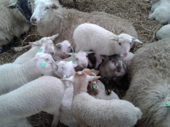 Lammetjesdag in Middelburg